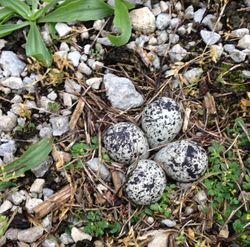 Kildeer eggs