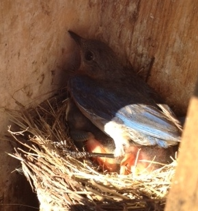 Momma Bluebird and babies