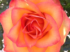 Uncle Frank's rose