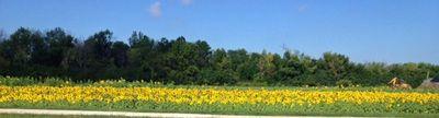 Yankee St sunflowers