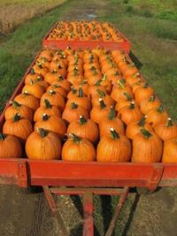 Fulton Farm pumpkins