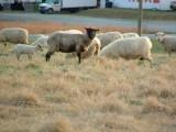 501_sheep_009