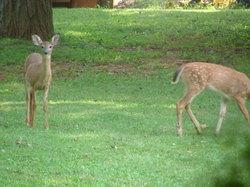 Deer_2_1