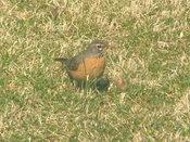Robins_1