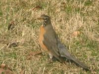 Robins_3