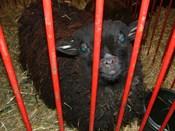 Sheep_7jpg