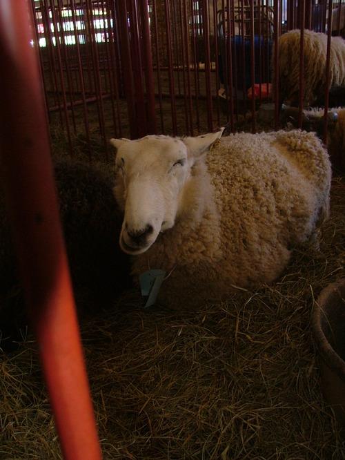 Sheep_1jpg