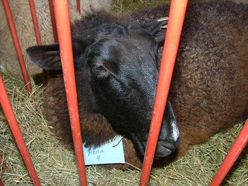 Sheep_2jpg