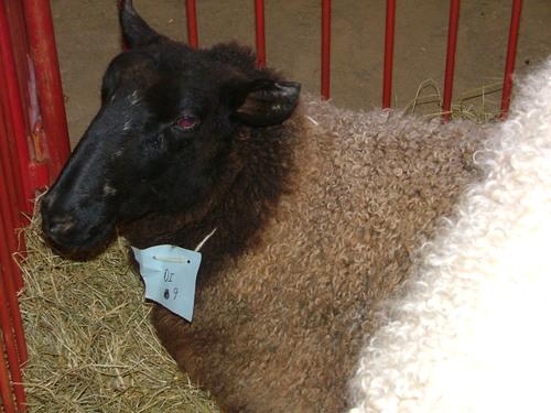 Sheep_3jpg