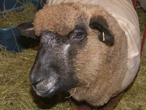 Sheep_4jpg