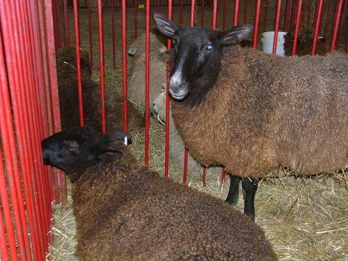 Sheep_5jpg