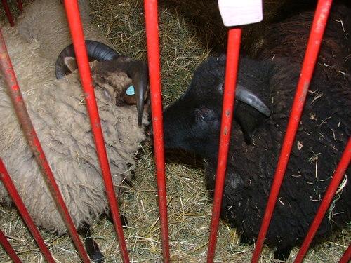 Sheep_8jpg